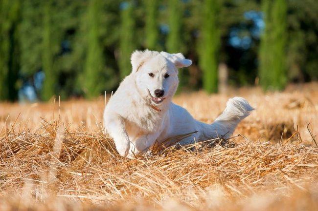 Добрый белый медведь – такой предстает маремма абруццкая овчарка перед тем, кто ее видит впервые. Спокойная и благородная собака, с достоинством контролирующая свою огромную силу, вызывает уважение