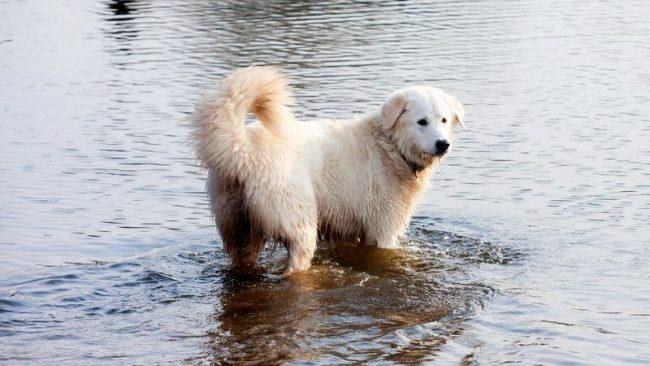 Мареммо-абруццкая овчарка очень любит водные процедуры