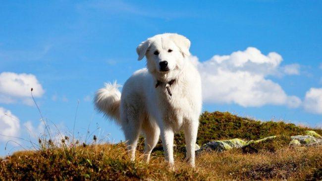 В юном возрасте мареммо-абруццкая овчарка нуждается в хороших физических нагрузках. Однако взрослой собаке повышенная активность не требуется. Ей достаточно свободного передвижения по двору