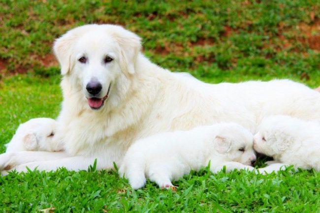 Выбор щенка надо начинать с осмотра его мамки. Если собака выглядит очень худой и нездоровой, это заставляет задуматься над тем, смогла ли она передать хорошие физические характеристики своему потомству