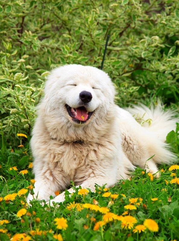 Мареммо-абруцццкая овчарка обладает мягким характером и добрым нравом. Особенно деликатно овчарка ведет себя с детьми, которым позволяет творить с собой что угодно