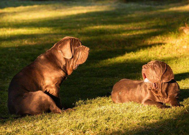 Несмотря на грозный вид, неаполитанский мастиф – ласковая и нежная собака. Он любит человеческое общество, хорошо ладит с детьми и домашними животными