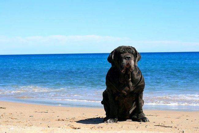 Эта собака не любит много двигаться, но все-таки движение ей необходимо для поддержания здоровья и физической формы