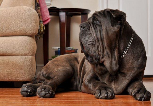 Неаполитанский мастиф – крупная собака, которой нужно много места для комфортного существования