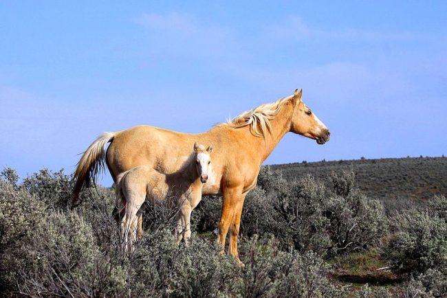 Мустанг – травоядное животное. В дикой природе оно ест травы, мелкие кустарники, листья. В прериях не всегда достаточно растительности. В поисках пропитания лошади иногда проходят до сотни километров