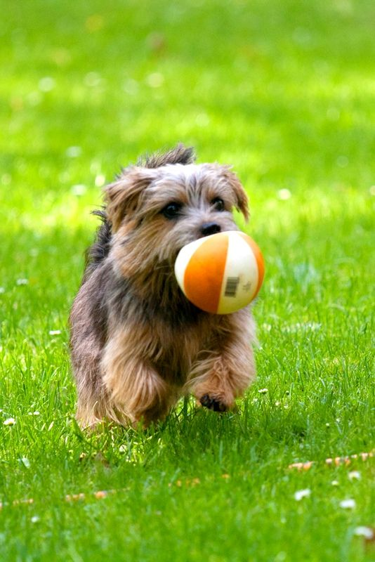 Собака норфолк-терьер с удовольствием будет участвовать в веселых играх. Этот пес непременно подружится с детьми