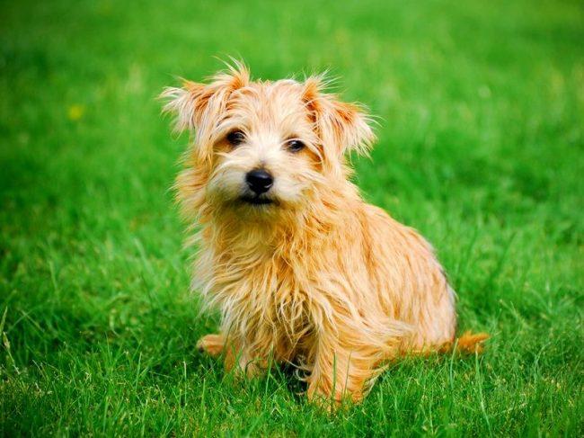 Норфолк-терьер – веселая и активная собака. Ранее ее использовали для норной охоты, а сейчас это прекрасный друг и верный компаньон. Норфолк радует хозяев хорошими показателями в дрессировке, также подкупает его покладистый характер и живой ум