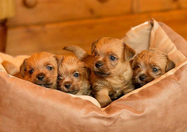 Специалисты советуют выбирать самого крепкого и статного щенка из стаи, такой - уж точно вырастет здоровым и будет гордо носить звание норфолк-терьер