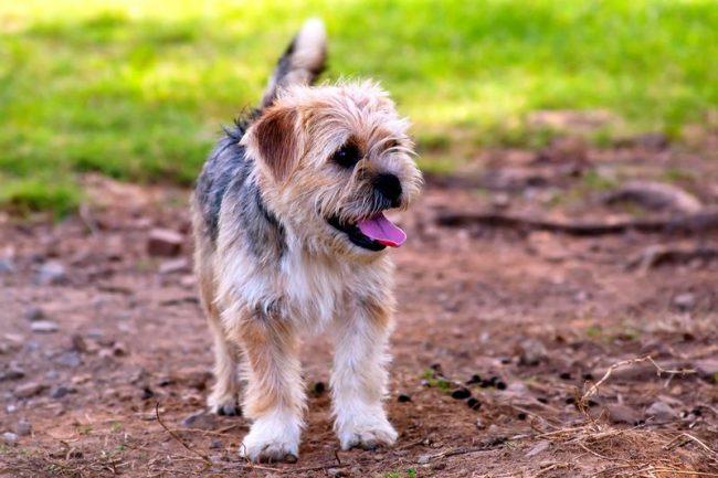 Собаки и кошки для норфолка – друзья. Он не будет проявлять излишней агрессии в отношениях с другими животными. Правда, в мелких домашних любимцах может увидеть добычу