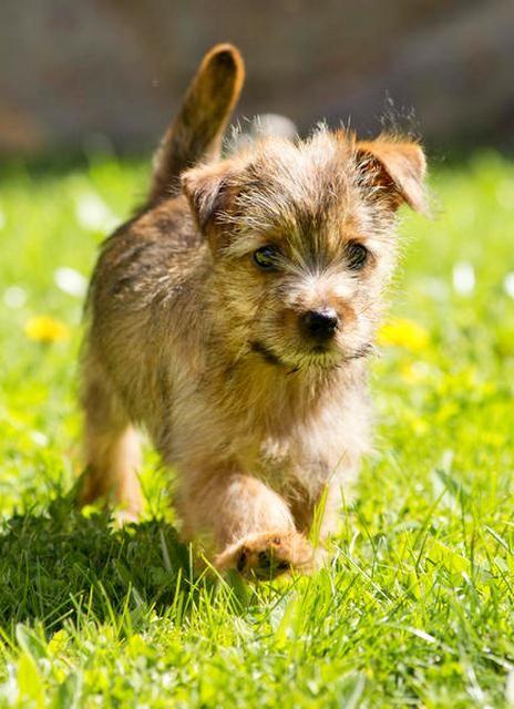 Охотничьи собаки обычно славятся своим крепким здоровьем, так и норфолк-терьер – крепкая и выносливая собака