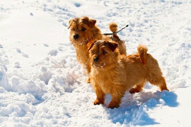 Любопытство - это качество крайне необходимо охотничьей собаке. Ведь пес должен заглядывать во все норки в поисках зверька. Любопытства норфолку не отнять