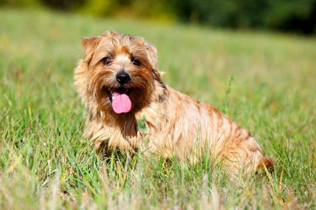 Англичанина норфолка нельзя назвать чопорным, это дружелюбный пес, который в каждом существе стремится найти друга