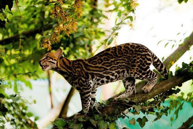 Крупнейший из небольших пятнистых кошек, оцелот является одним из самых известных и наиболее распространенных видов кошачьих в своем диапазоне, а также, возможно, одним из самых красивых