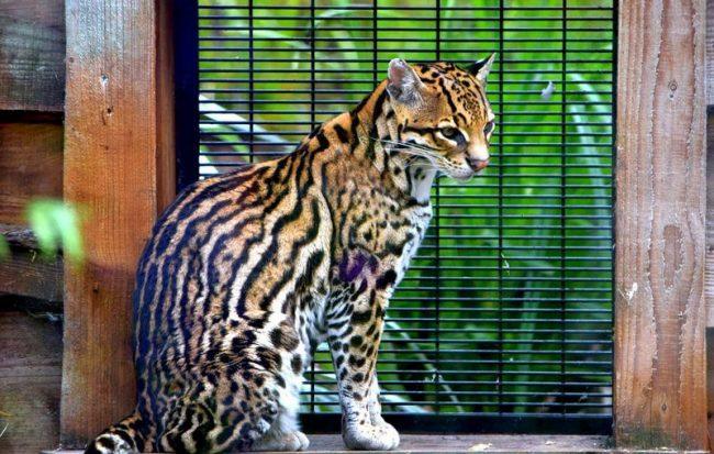 Оцелот. Внешне зверь схож с маленьким леопардом или длиннохвостой кошкой, хотя он ее крупнее, а леопарда – мельче