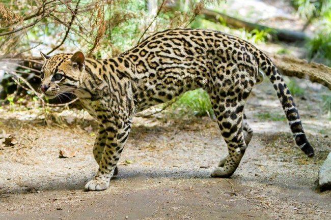 Оцелот – небольшой, сильный и проворный кот родом из джунглей Южной Америки, прекрасно бегает, лазает по деревьям и чудесно плавает