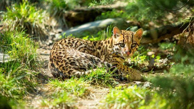 Оцелот невероятно адаптированное животное, которое видели в различных местах обитания, включая тропические леса, луга, мангровые леса и болота, где есть много густой растительности