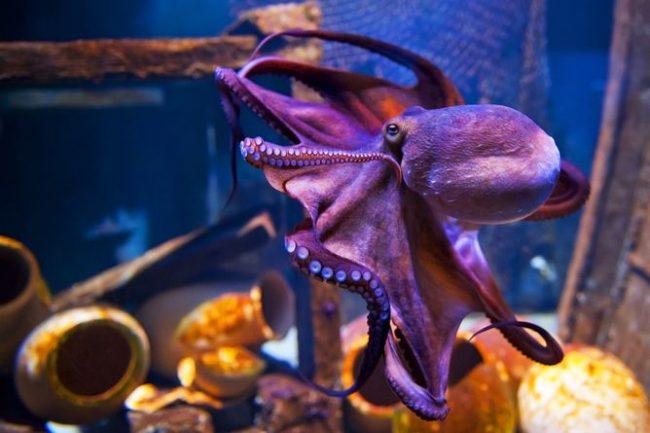 Конечно, осьминог внушает уважение и долю страха, но развеянные наукой мифы о кровожадности животного привели его на странице детских книжек и мультфильмов. В них он забавный и веселый