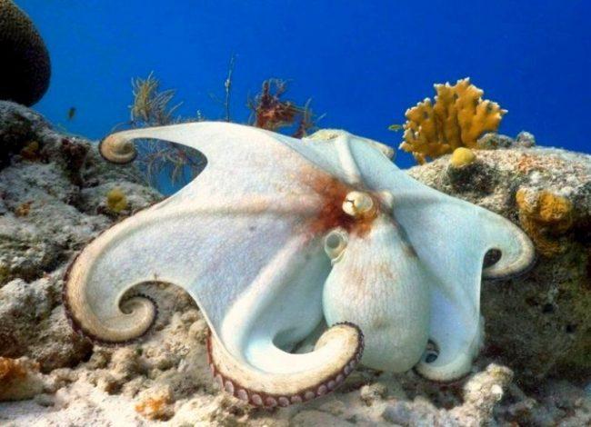 Чтобы добыть пропитание, осьминог научился хорошо маскироваться. Завидев потенциальную жертву, он сливается с обстановкой. Когда добыча приблизилась на расстояние броска, осьминог набрасывается на нее и выпускает яд, парализуя дичь