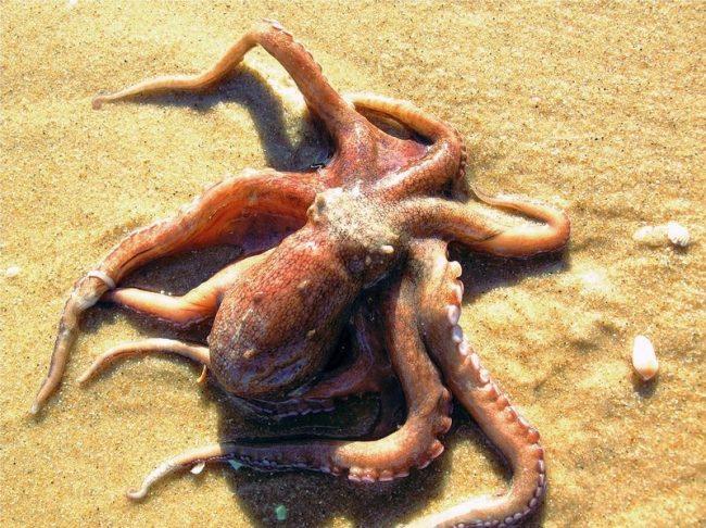 Величественный обитатель морских просторов, маленький и большой, осьминог все еще загадка для людей. Шаровидное тело, длинные руки-щупальца, нос-клюв и высочайший интеллект соединились в одном животном и превратили его в героя голливудских триллеров