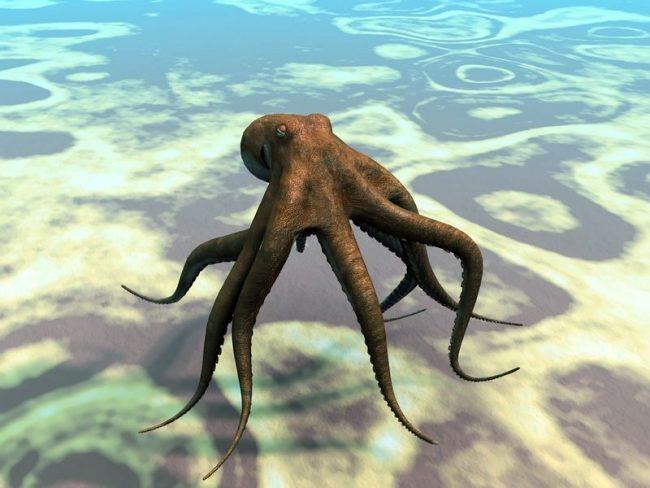 В строение осьминога необычно все, а ответ на вопрос о том, сколько сердец у осьминога ответ удивит многих: у него их три