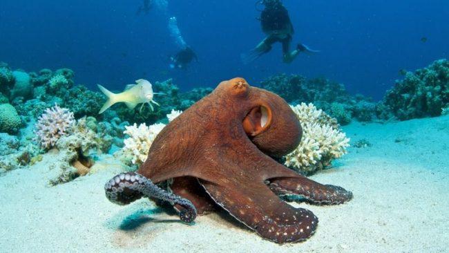 В спокойном состоянии осьминог окрашен в коричневый цвет. Однако в клетках кожи находятся пигменты, помогающие моллюску быстро менять окраску