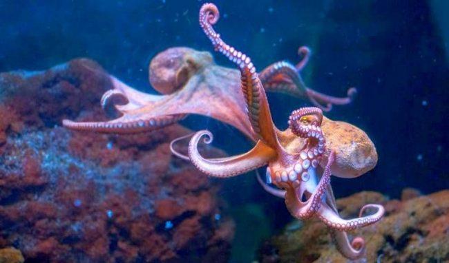 Киты, косатки, дельфины, мурены, тюлени, морские львы, акулы и крупные морские птицы – все это природные враги осьминогов