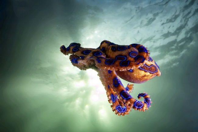 Для осьминога характерен ночной образ жизни. Он осторожен и пуглив, умеет быстро прятаться или спасается от опасности, выпуская чернильное пятно