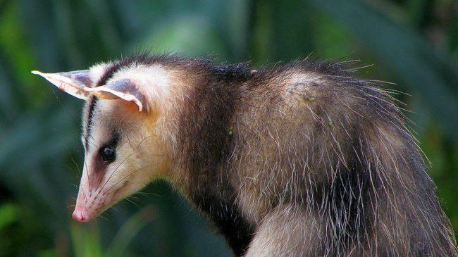 Опоссумов содержат в зоопарках, там они могут дожить до 7 лет. Особенно любят наблюдать за ними и кормить дети