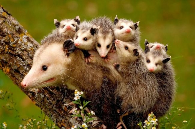 Детки опоссума передвигаются на маме