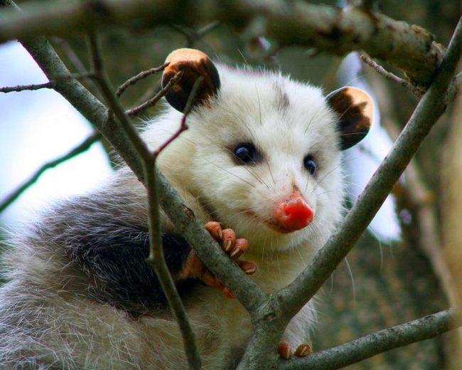 Опоссум. Опоссумы обитают на всей территории Соединенных Штатов. Они встречаются на юге Канады, в Северной Америке (Аргентине) и Южной (Чили), в Мексике