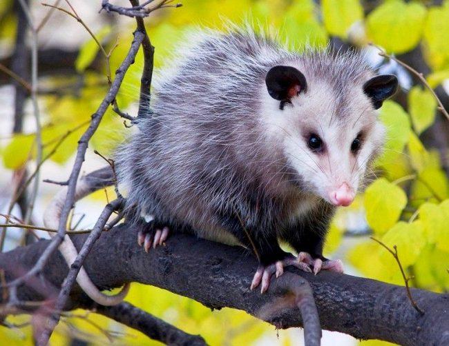 Как и большинство животных, которые процветают в городской среде, опоссумы ведут ночной образ жизни, то есть они активны ночью. Нередко можно увидеть, как они роются в мусоре и блуждают вдоль дорог в вечернее время