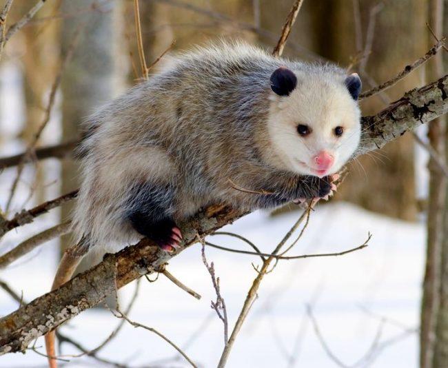 Опоссум. Опоссумы лазают по деревьям, но, вопреки распространенному мифу, не могут висеть на своем хвосте