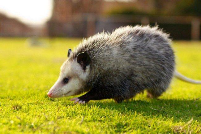 Опоссумы - забавные средние млекопитающие, достигающие размеров большого кота