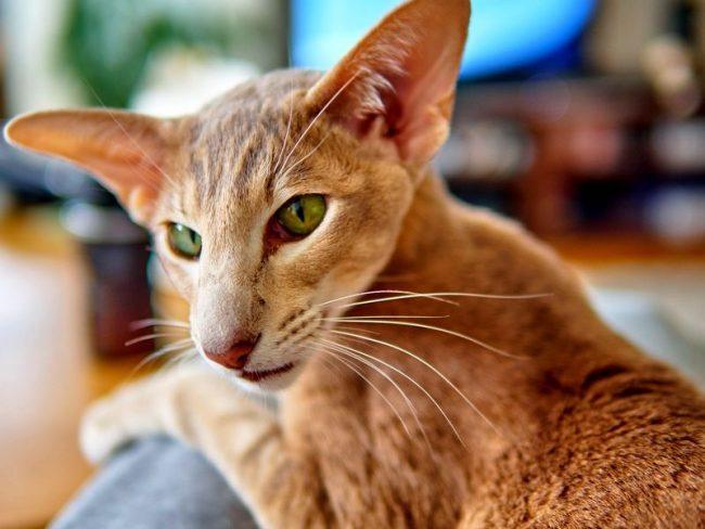 """Ориентальная кошка - это не та порода, которая будет гулять сама по себе, ей нужен друг и товарищ для игр. Поэтому заводить ее стоит тем, кто более свободно располагает своим временем, любит поиграть и не против """"разговора по душам"""" – кошка обожает поговорить вслух и громко"""