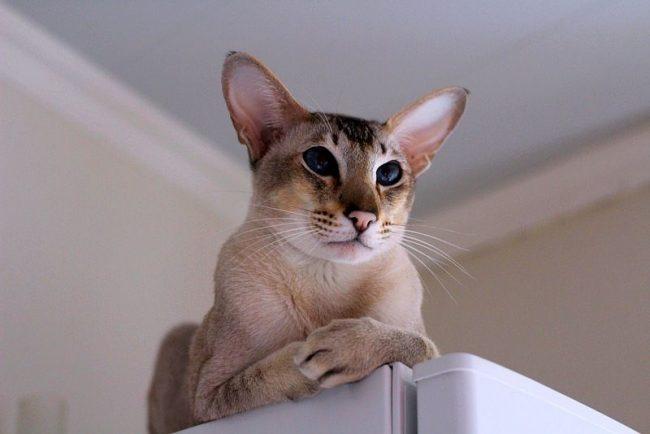 За ориентальными кошками в силу особенностей их шерсти не нужен какой-то особенный уход. Даже длинношерстную разновидность достаточно вычесывать раз в неделю, а короткошерстных просто протирают резиновой или силиконовой перчаткой