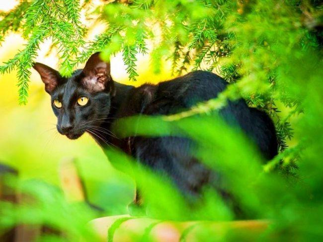 Ориентальная кошка обладает телепатическими способностями и легко улавливает боль, желания и настроение хозяина