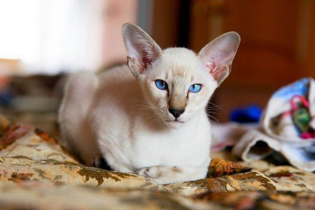 Ориентальная кошка была выведена из породы сиамских, от сюда и некоторая схожесть