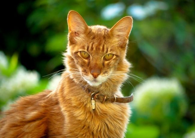 Ориентальная кошка бывает и длинношерстная
