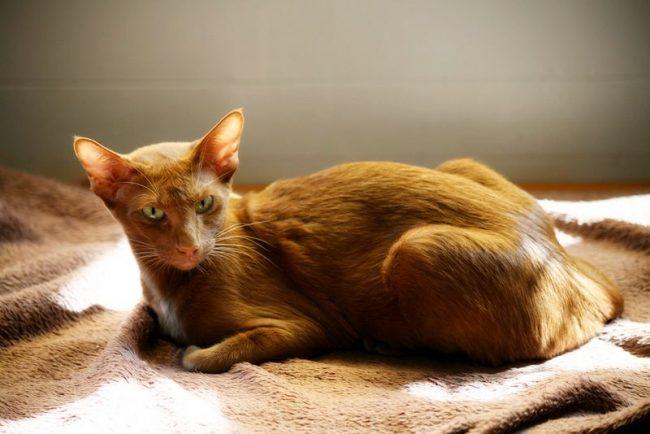 Окрас – это основа породы. А потому вязать котов и кошек можно только одной разновидности породы и одного окраса