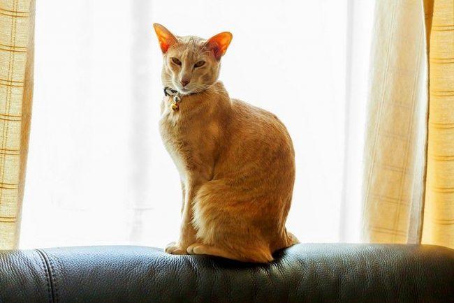 Ориентальную кошку можно обучить некоторым трюкам, к примеру, прогулкам на поводке или подаче мячика. Однако не обольщайтесь, кошка будет выполнять трюки, если сама того захочет, а не по принуждению