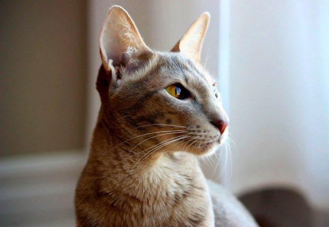 Ориентальная кошка, как и все кошачьи, уверены, что мир создан для них, а потому будут мяукать, стремясь привлечь внимание. Хотя голос у них довольно приятный и мелодичный, в отличие от сиамских котов
