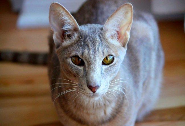 Ориентальная кошка – большая умница. Если вы заслужили ее уважение и любовь, предательства от кошки вы не ощутите никогда