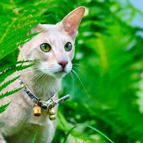 Ориентальная кошка – едва ли единственный представитель семейства кошачьих, которая привязывается к человеку почти так же, как собаки. И очень грустит, не получая достаточно внимания