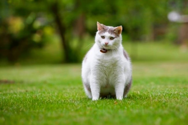 Ошейник должен быть именно для кошек, то есть ошейники для собак не подойдут. Также следует учитывать определенные особенности - существуют специальные изделия для котят, для беременных или кормящих кошек