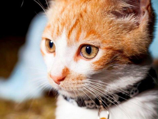 Обратите внимание, ошейник от блох и клещей для кошек должен плотно сидеть, но при этом не вызывать чувство дискомфорта у животного