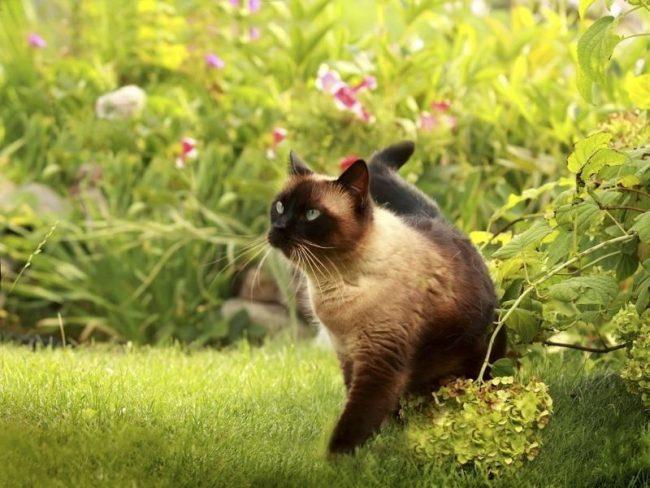 Домашние кошки тоже имеют риск подцепить блох и клещей - прогулки возле дома, семейные вылазки на природу, общение с другими животными могут привести к тому, что на шерсти вашего питомца появятся паразиты. Из всех противопаразитарных средств наибольшую славу в применении сумел завоевать специальный ошейник от блох и клещей для кошек