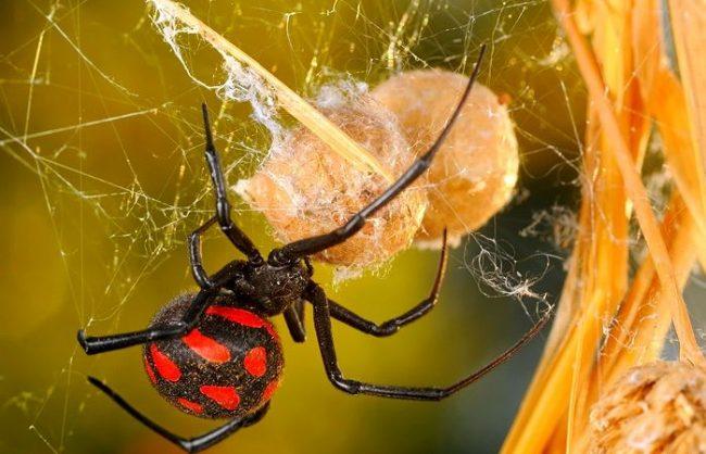 Удивительно, но самыми ядовитыми считаются не змеи, а пауки. А самый ядовитый из отряда членистоногих – паук каракурт