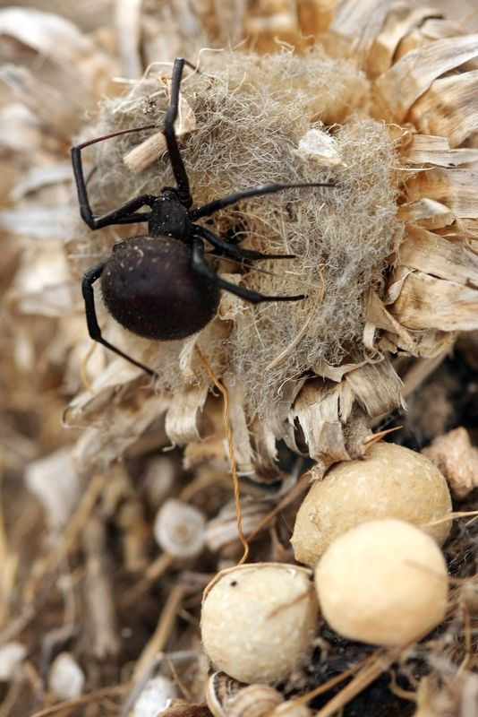 Заметить паука трудно, ведь даже свои тенета каракурт натягивает не вертикально, как другие пауки, а горизонтально, причем тонкие ниточки расположены хаотично, а не как показывают в мультфильмах – по кругу. Случайно заденете паука, и он воспримет это, как агрессию с вашей стороны, нападет и укусит
