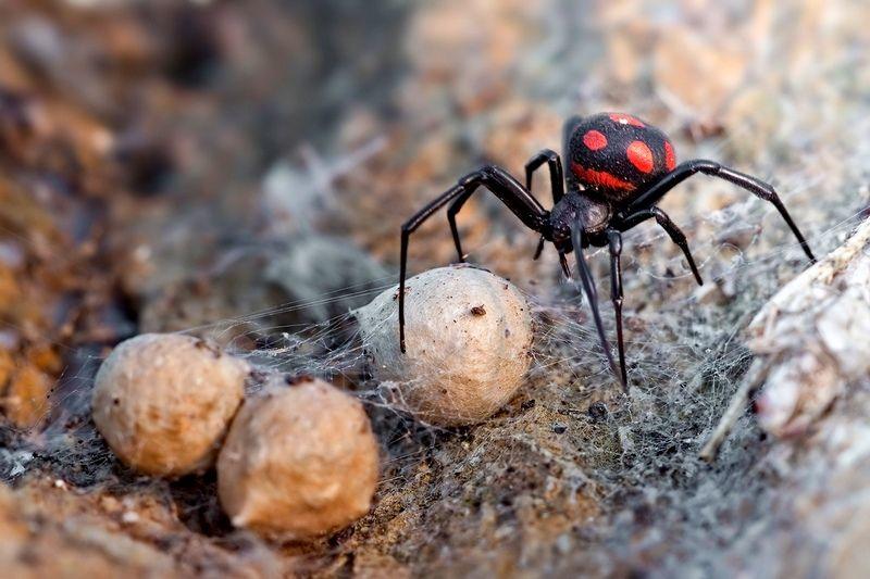 Реферат про паука каракурта 4677