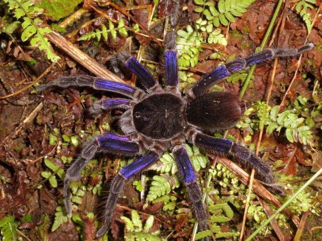 Страшный и ужасный монстр или милый мохнатый домашний питомец? Для некоторых паук-птицеед стал любимым обитателем личного террариума. Одни из самых больших в мире, эти насекомые могут быть невероятно красивыми и дико очаровательными